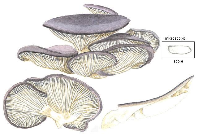 Shimon Tzabar Mushroom Drawings